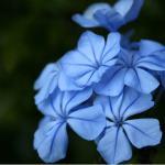 plumbago-fleurs-de-bach